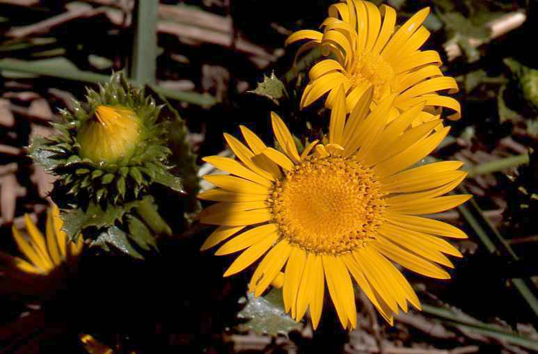 Grassland slides range types of north america 337 gummy on the prairie upper shoot first slide and capitulum or head inflorescence second slide of sawtooth gumweed grindelia papposa in the grand mightylinksfo