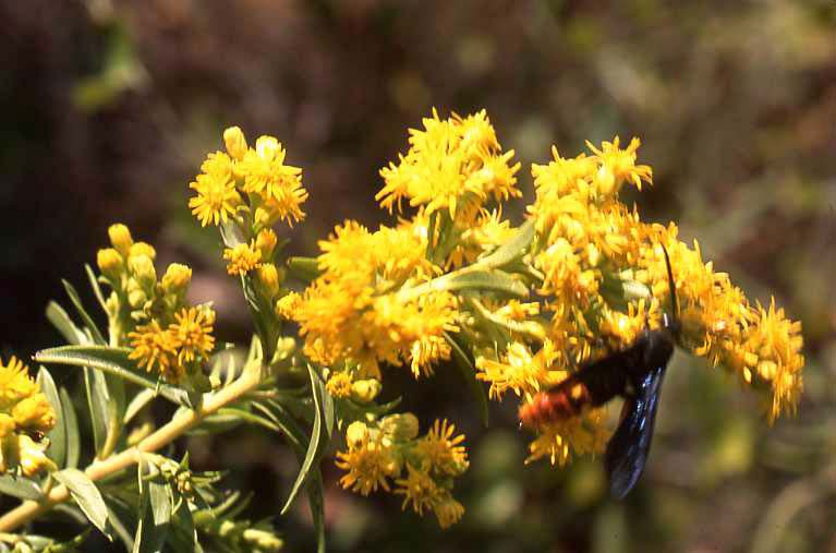 Grassland slides range types of north america sheer beauty on the prairie floral units assemblages of numerous heads a hed of heads so to speak of giant or late goldenrod in the west cross timbers mightylinksfo
