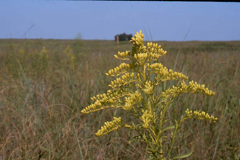 Solidago caesia asexual reproduction video