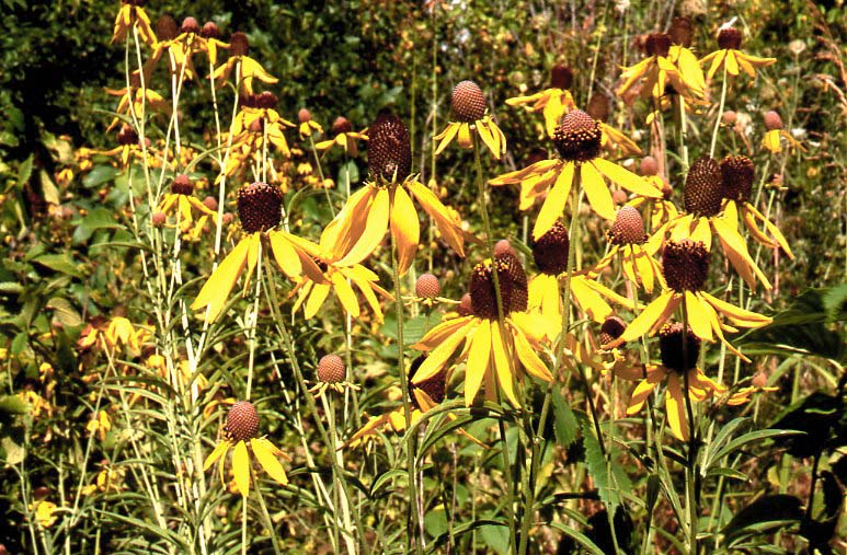 Grassland slides range types of north america heads up heads of grayheaded coneflower heads or more scientifically supposedly capitula singular is capitulum are the inflorescence type of the mightylinksfo