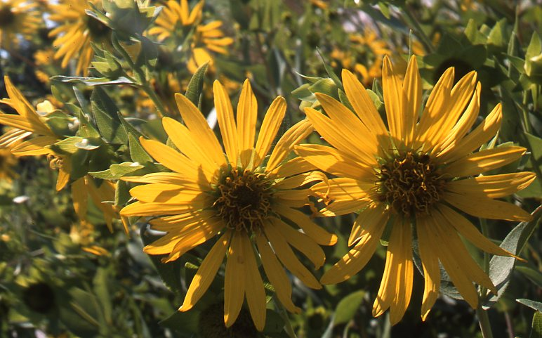 Grassland slides range types of north america rosined heads capitula heads of rosin weed on a bottomland range site in the western ozark springfield plateau believe it or not these flowers were mightylinksfo