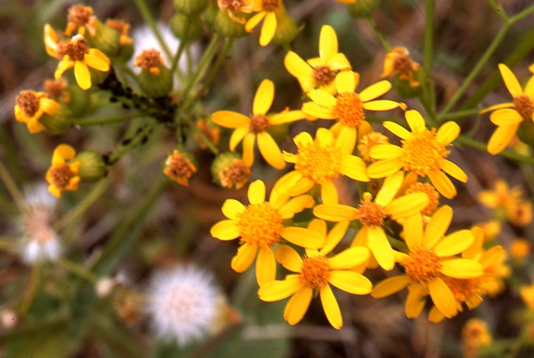 Grassland slides range types of north america heads on the sand inflorecences of texas ragwort or texas groundsel with a top down view of a flowering individual in the first or upper slide and a closer mightylinksfo