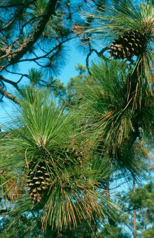 longleaf pine range types of north america